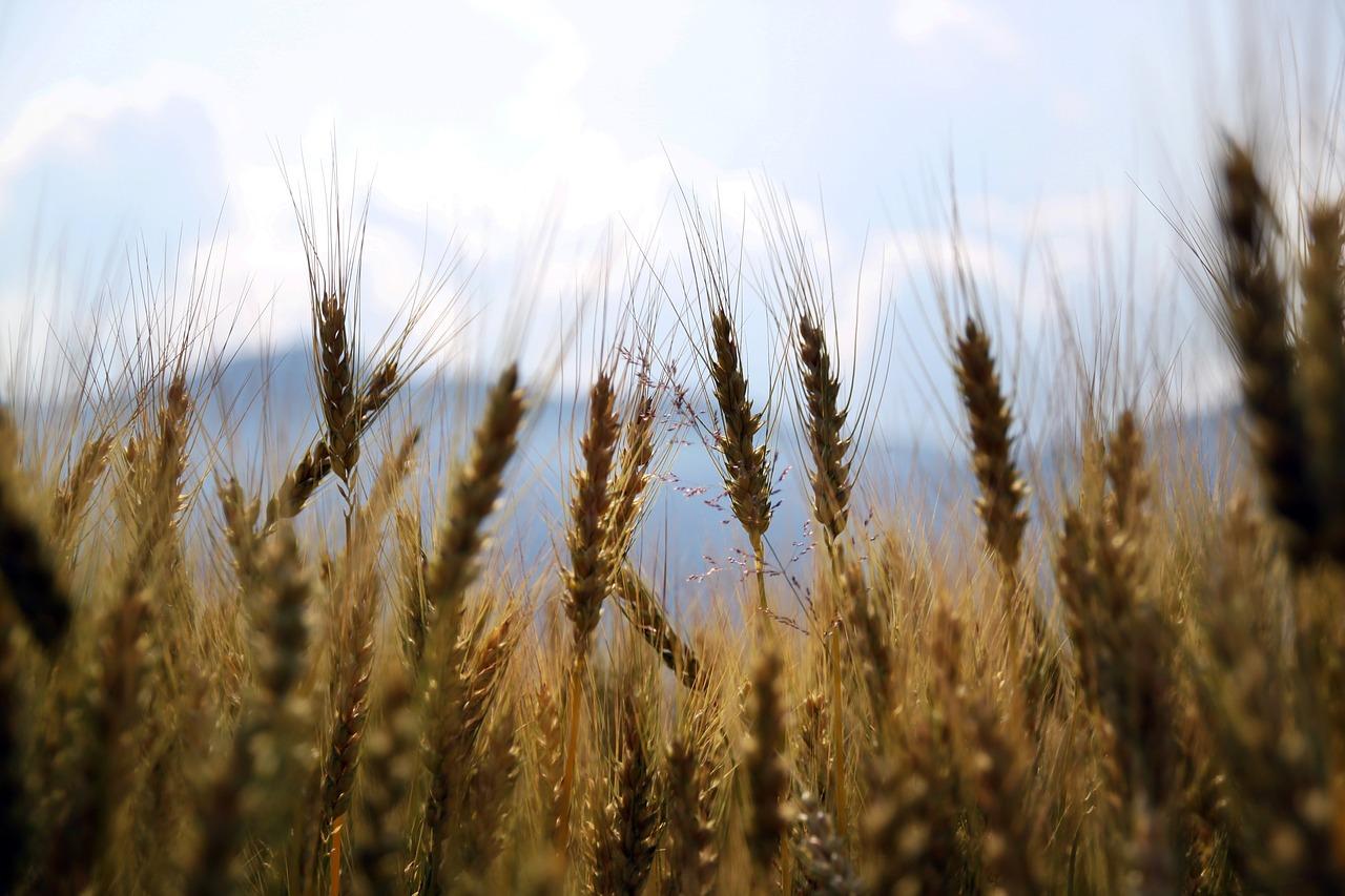 Ochrona kukurydzy przed szkodnikami i chwastami
